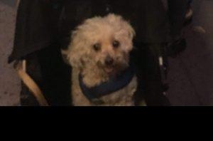 Poodle in a Stroller